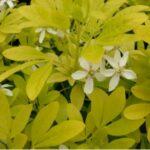 Gouden blad en witte bloem