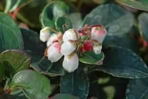 Gaultheria procumbens 1