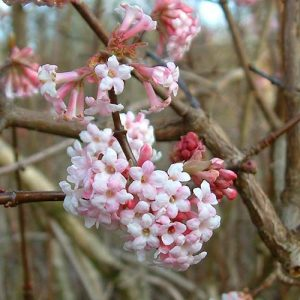 De geurige roze bloeiwijzen van Viburnum x bodnantense 'Dawn'