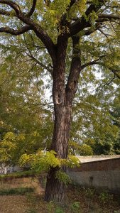 Juglans nigra park Veurne