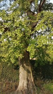 Ginkgo biloba park Veurne